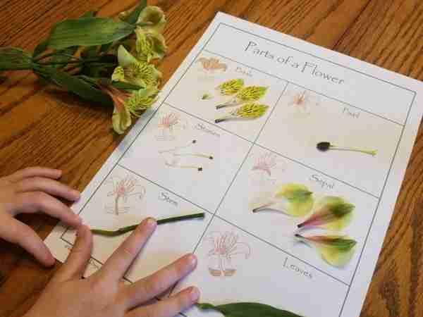 Flower Dissection for Children