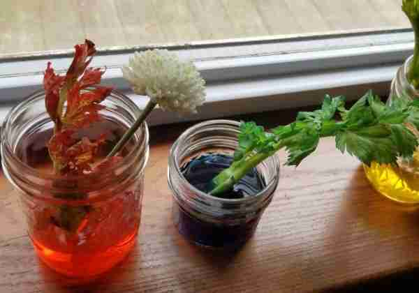 celery food dye experiment plants water