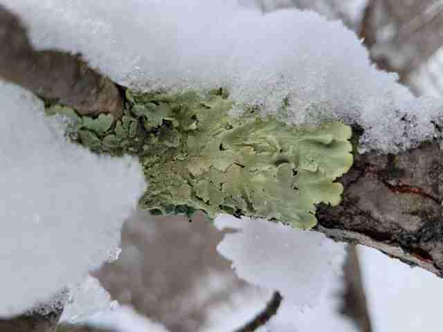 Green Lichen on Branch