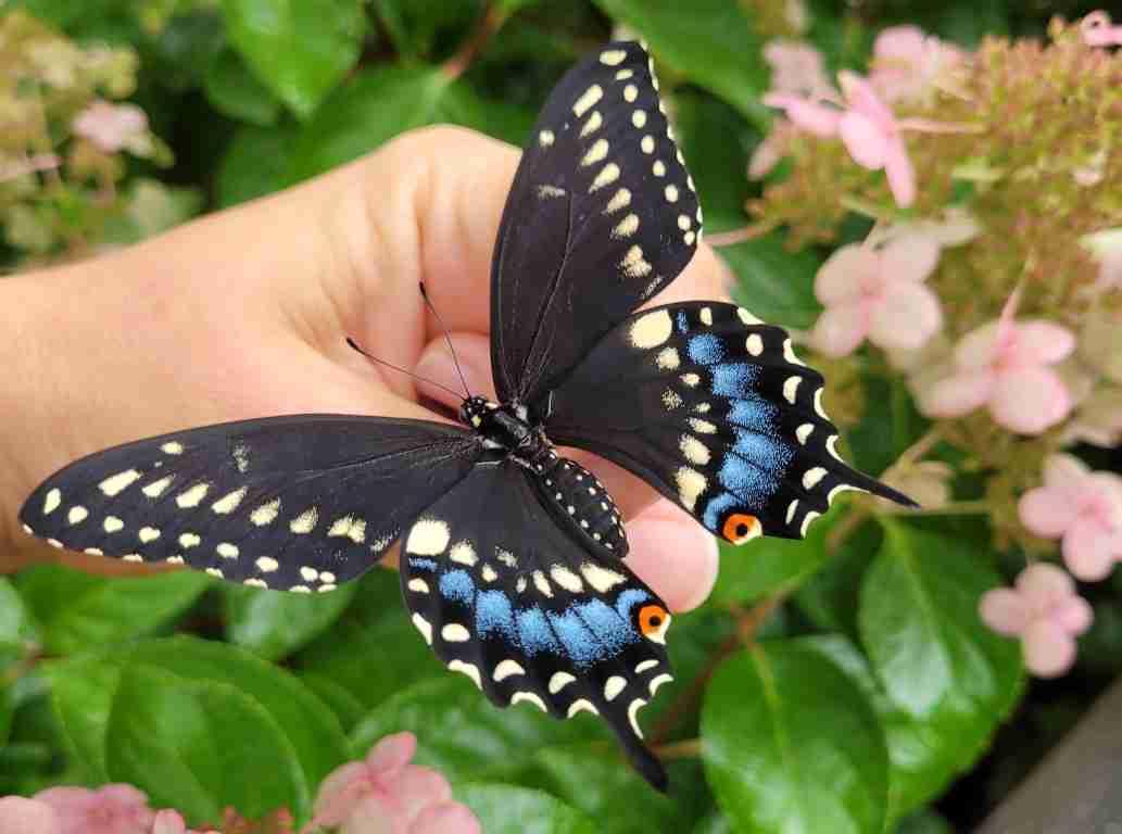 Raising-Swallowtail-Butterflies