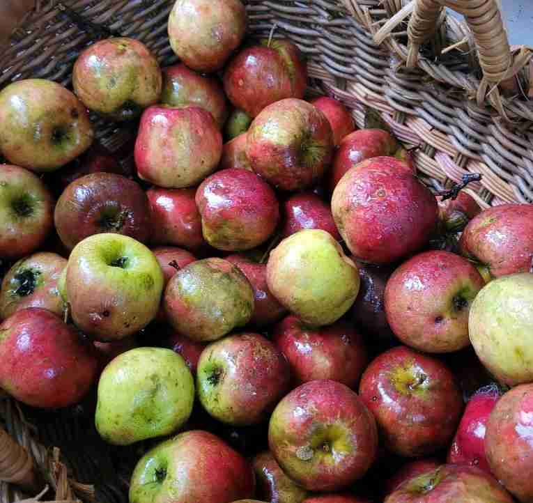 Apples for drying in Fall